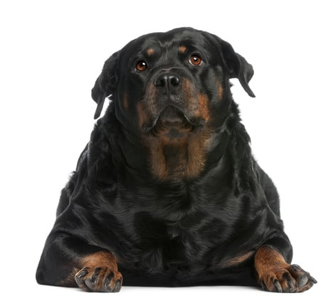 photodune-2663178-fat-rottweiler-3-years-old-lying-in-front-of-white-background-xs