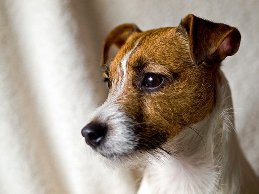 photodune-3523293-portrait-of-a-cute-jack-russell-terrier-xs