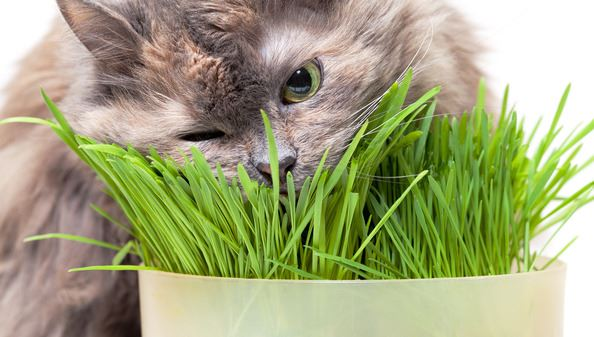 A pet cat eating smelling fresh grass