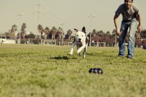 Pitbull Running after Dog Chew Toy Vintage