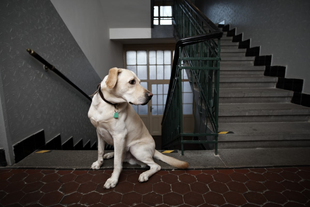 How To Teach Your Senior Dog To Use A Ramp Or Stairs