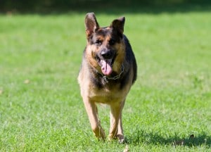 German Shepher Hip Displasia