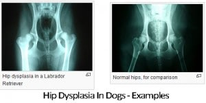 dog-hip-dysplasia-examples