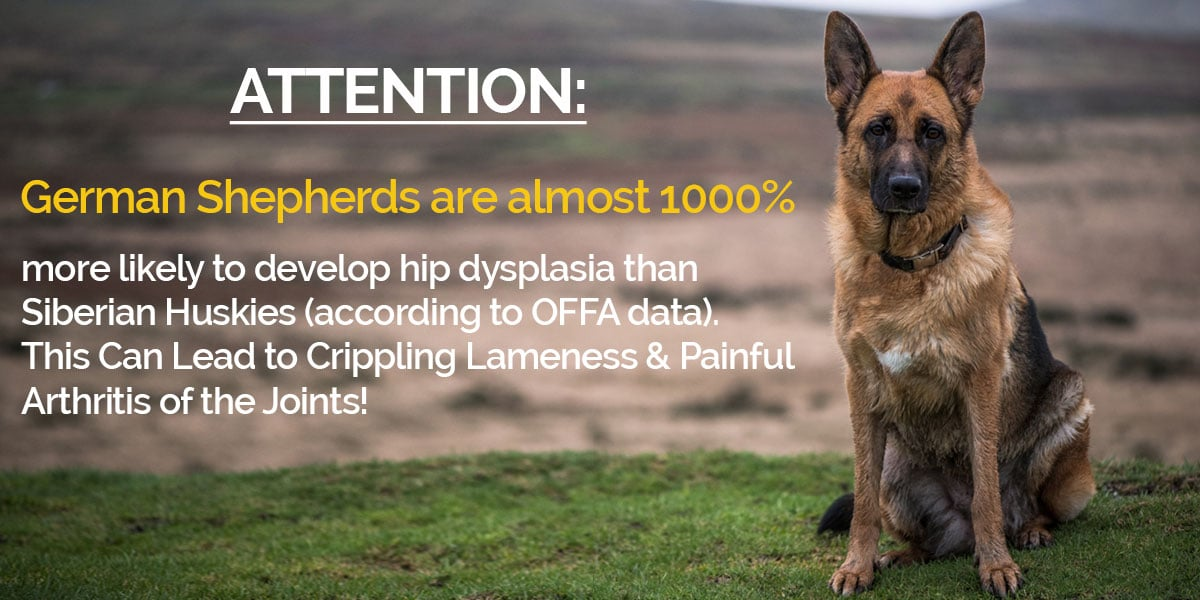 an analysis of the canine hip dysplasia in dogs Genetics of canine hip dysplasia  prospective analysis of hip quality  the percentage of german shepherd dogs with canine hip dysplasia at 12.