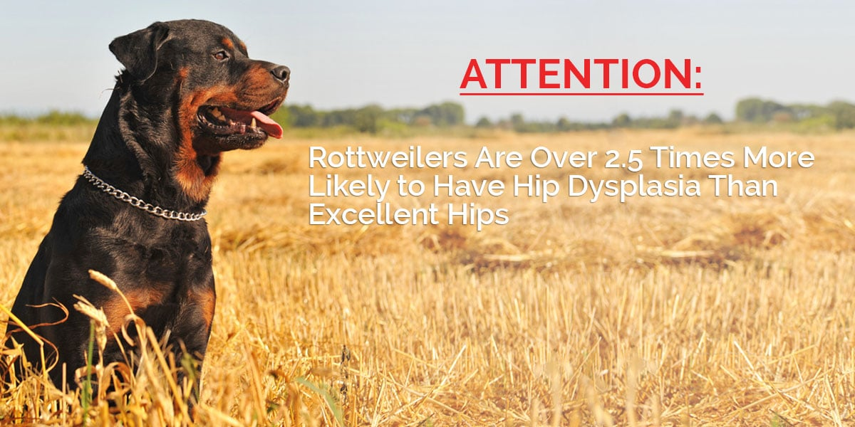 attention-rottweiler