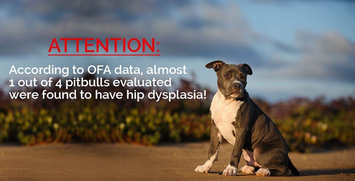 attention-pitbull-hipv2