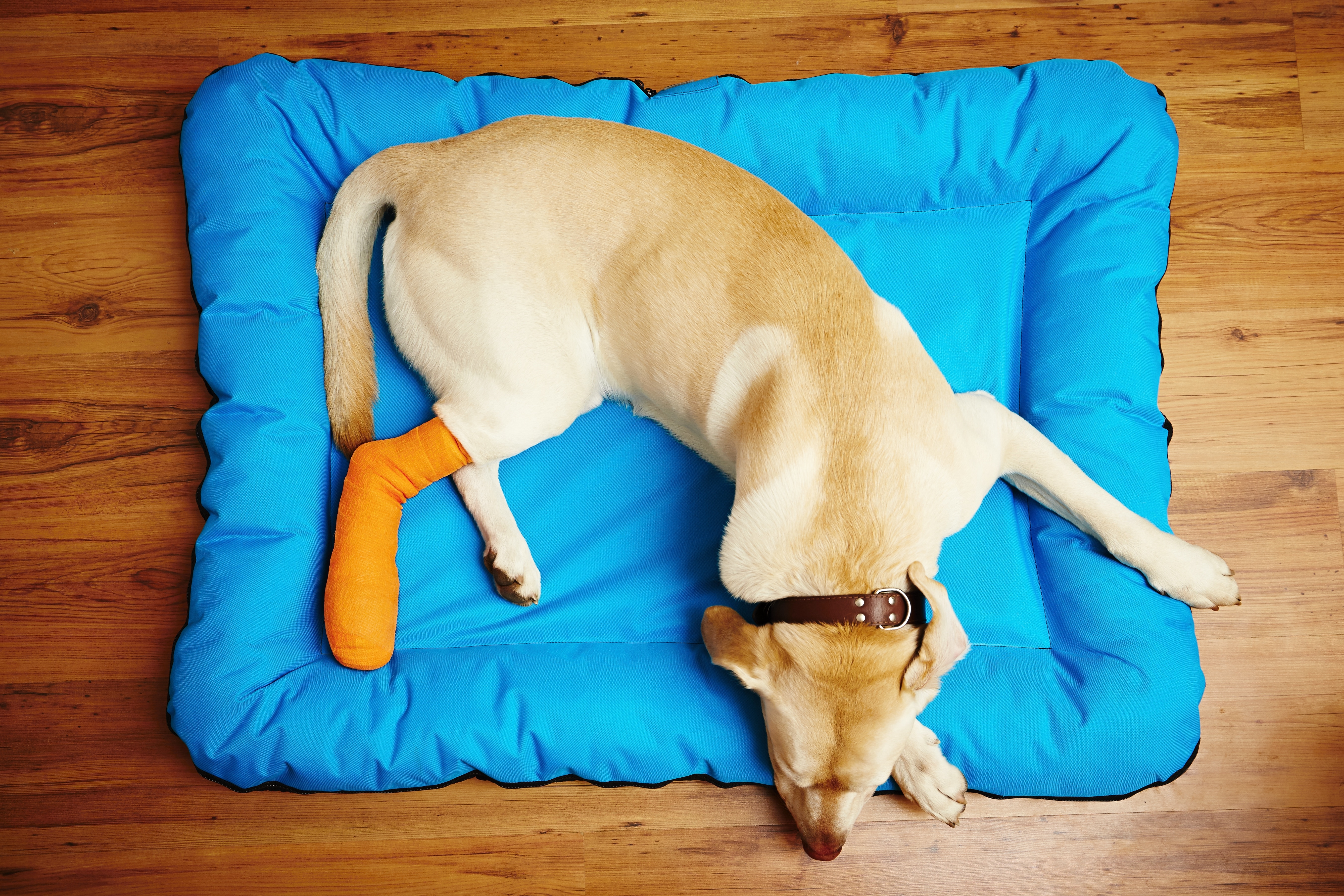 Yellow labrador retriever is sleeping with broken leg